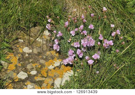 Thrift or Sea Pink - Armeria maritima with Lichens on rock