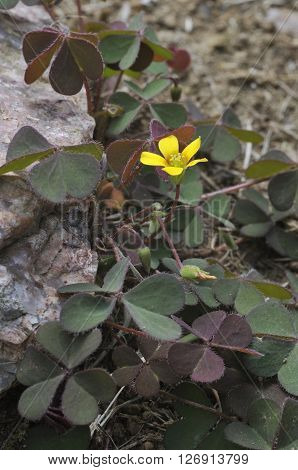 Spreading Yellow Sorrel - Oxalis corniculata Common Garden Weed