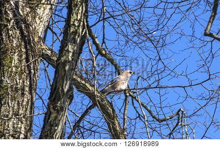 Eurasian jay in a tree on blue sky