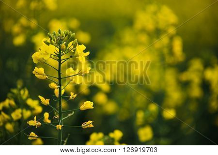 Agriculture landscape. Yellow rapeseed flower field. Close up rapeseed flower.