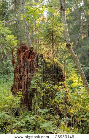 Picturesque stump. Severe beauty of Northern nature. Polar summer. Lovozero tundra. ** Note: Visible grain at 100%, best at smaller sizes