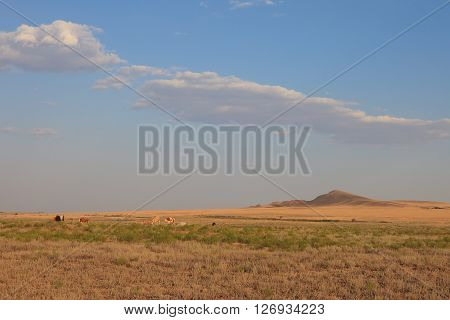Grazing cows in the desert landscape of the salt plains. Lone hill. A hot summer evening and the blue sky