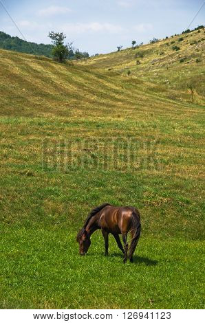 Horse on a meadow at sunny summer day in Pester, southwest Serbia
