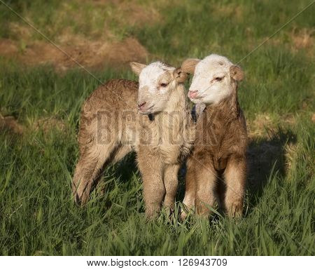 Pair of one day old Katahdin lamb, ewe, hair sheep.  Springtime in Wisconsin.