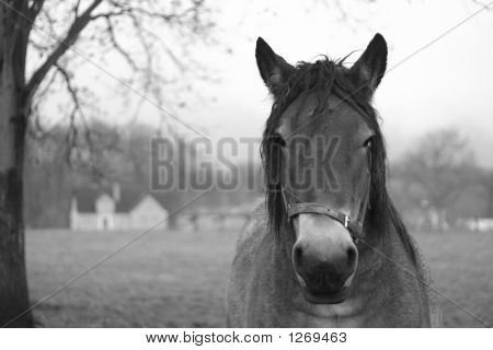 Horse Looking