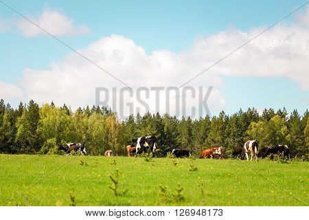 A herd of cows grazing on the lawn of the forest.