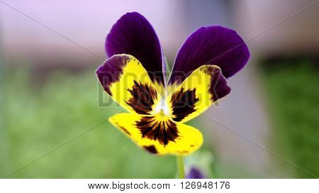One of the first early spring flowers bloom violet tricolor.
