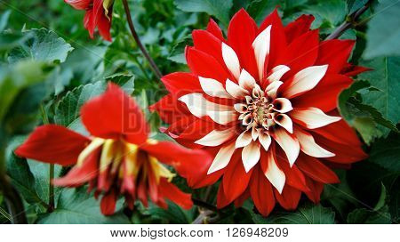 Blooming bright white-red Dahlia amid the green of the leaves.