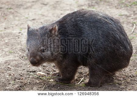 Common wombat (Vombatus ursinus). Wild life animal.