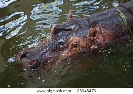 Hippopotamus (Hippopotamus amphibius) swimming in water. Wild life animal.