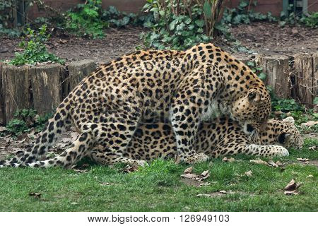 Persian leopards (Panthera pardus saxicolor), also known as the Caucasian leopards have sex.