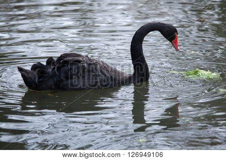 Black swan (Cygnus atratus). Wild life animal.