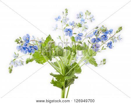 Veronica chamaedrys flower isolated on white background