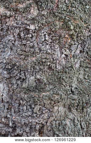 Relief bark of an old tree oak