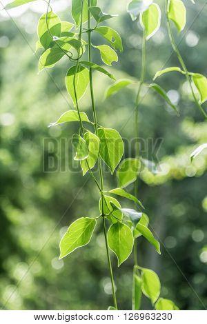 green leaves with sun light bokeh