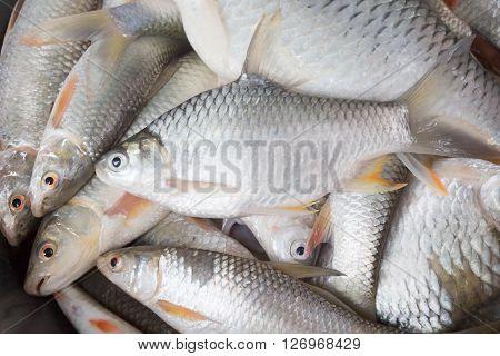 Freshwater Fishes Susceptible Host Of Opisthorchis Viverrini
