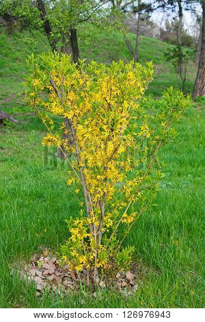 Yellow blossom of forsythia bush in spring