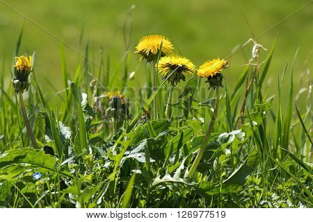 weed in the lawn dandelion with yellow flowers selected focus and narrow depth of field