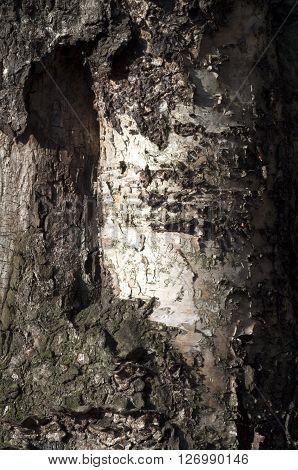 Old birch. Texture background. Close up of birch bark. Vertical shot.