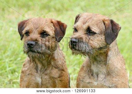 Two Border Terriers in the spring garden