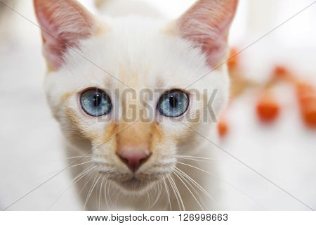 Blue-eyed cat looking directly at the camera