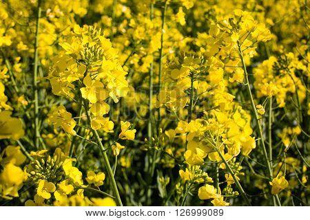 Oilseed Rape On The Field