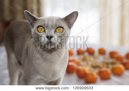 Burmese yellow eyed cat looking very frightened