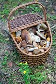 Birch Bolete Mushrooms (Leccinum scabrum) in basket ( rough-stemmed bolete scaber stalk) poster