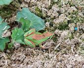 tiny green garden frog sits partially on leaf partially on mulch. cute. poster