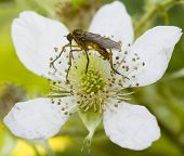 Insect in summer feeding on a wild rose poster