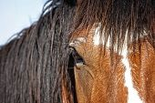 A close up the head, mane, face, and eye of an untamed horse at a western ranching event in the American West.  Shallow depth of field with focus point on the eye. poster