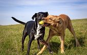 Two sweet mutts playing with a green tennis ball in both of their mouths in green field poster