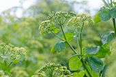 Alexanders (Smyrnium olusatrum) plant in flower. Pungent plant in the family Apiaceae with pale green and white flowers poster