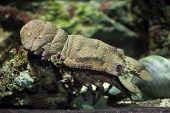 Mediterranean slipper lobster (Scyllarides latus). Wild life animal.  poster