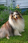 a blue merle shetland sheepdog in the garden. poster