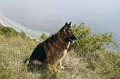 German shepherd dog at the coast on a summer day poster