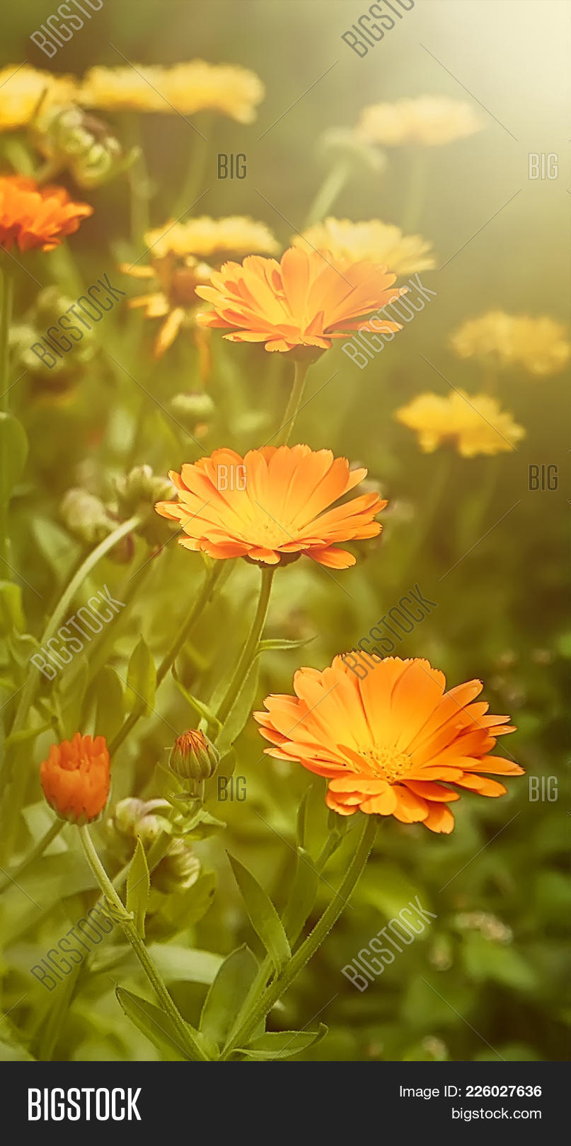0146d2537 Beautiful Summer Background With Marigold Flowers Field In Sunlight. Nature  Scene With Blooming Cale