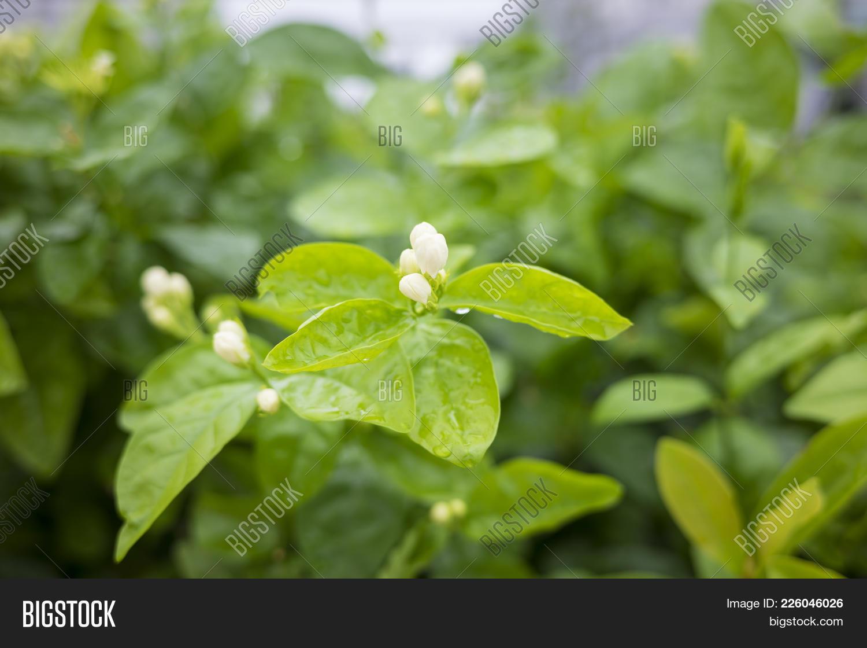 Cluster jasmine flower image photo free trial bigstock cluster of jasmine flower buds branches focus on flower izmirmasajfo