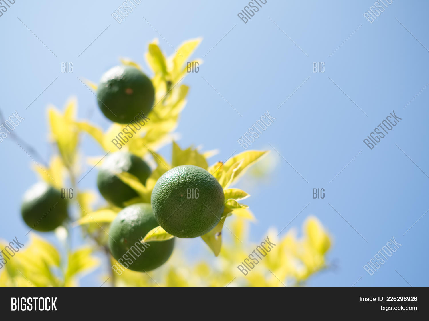Close branch lime image photo free trial bigstock close up a branch of lime fruits hanging on the lime tree with blue sunny sky izmirmasajfo