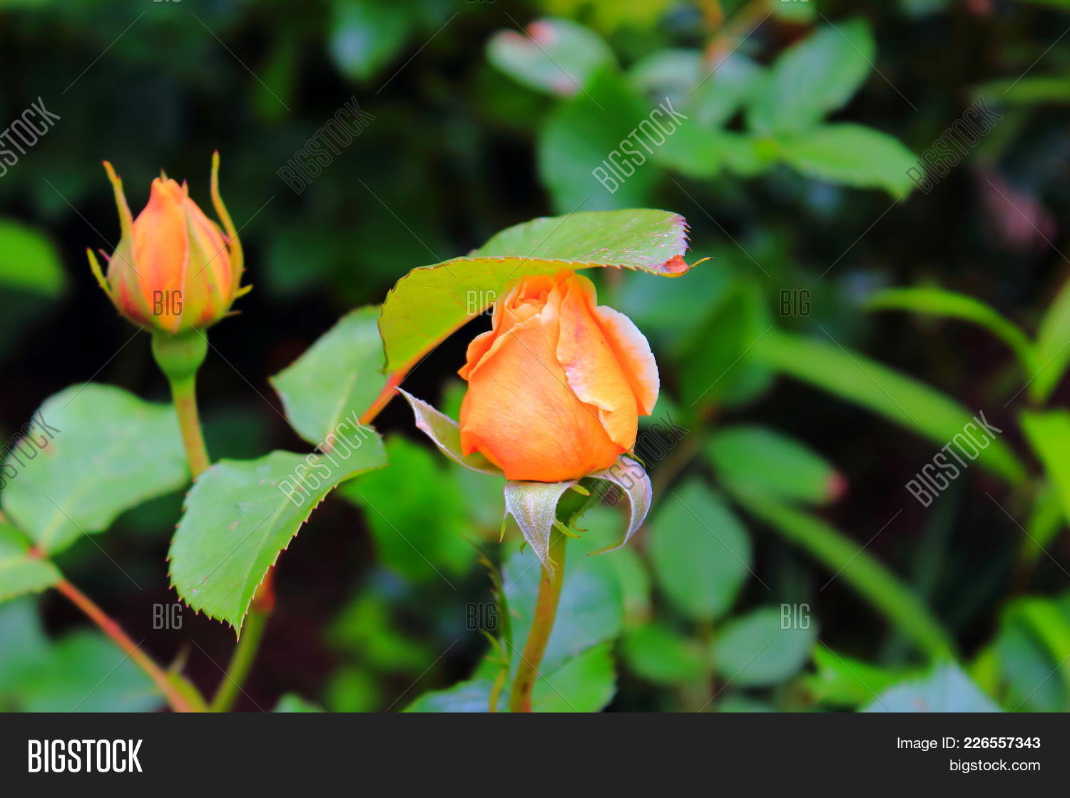 Beautiful Orange Rose On The Bush Delicate Rosebuds