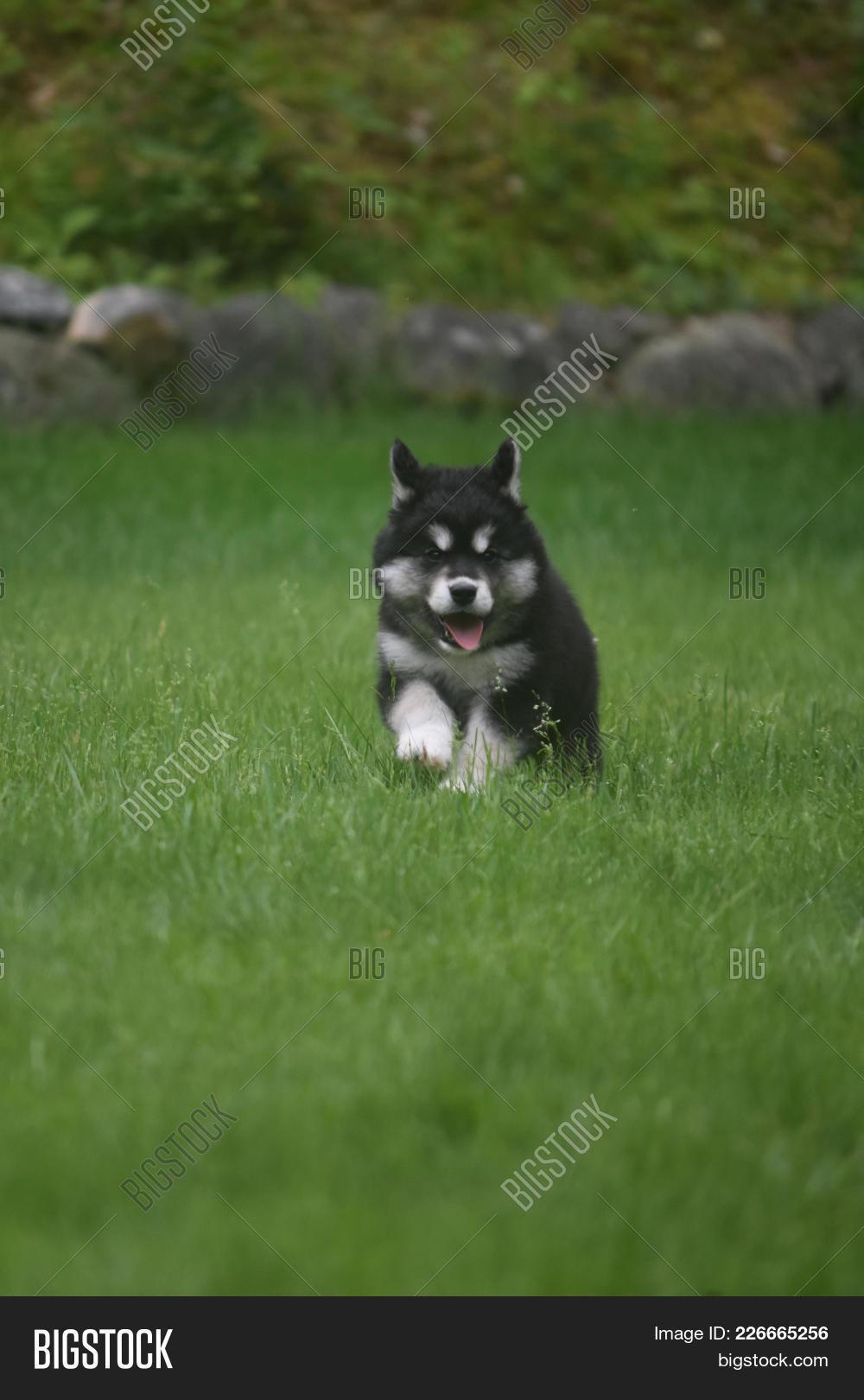 Cute Black White Husky Image Photo Free Trial Bigstock