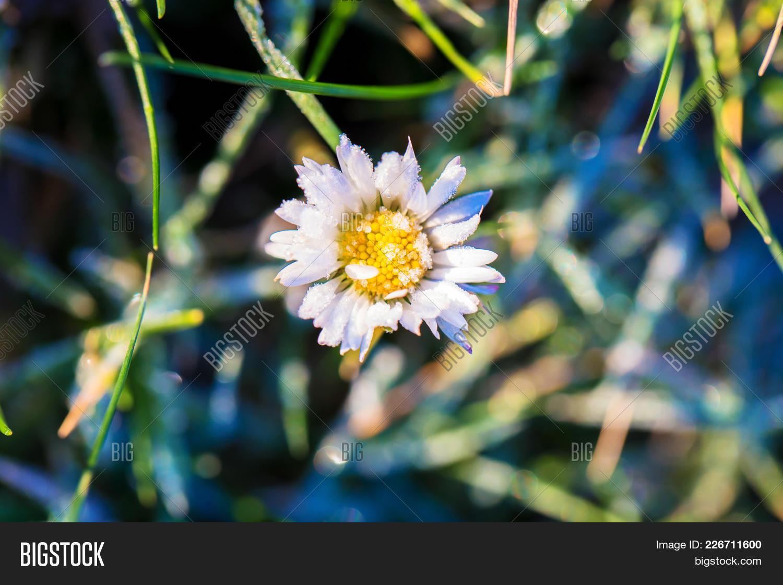 Macro Photo Daisy Image Photo Free Trial Bigstock