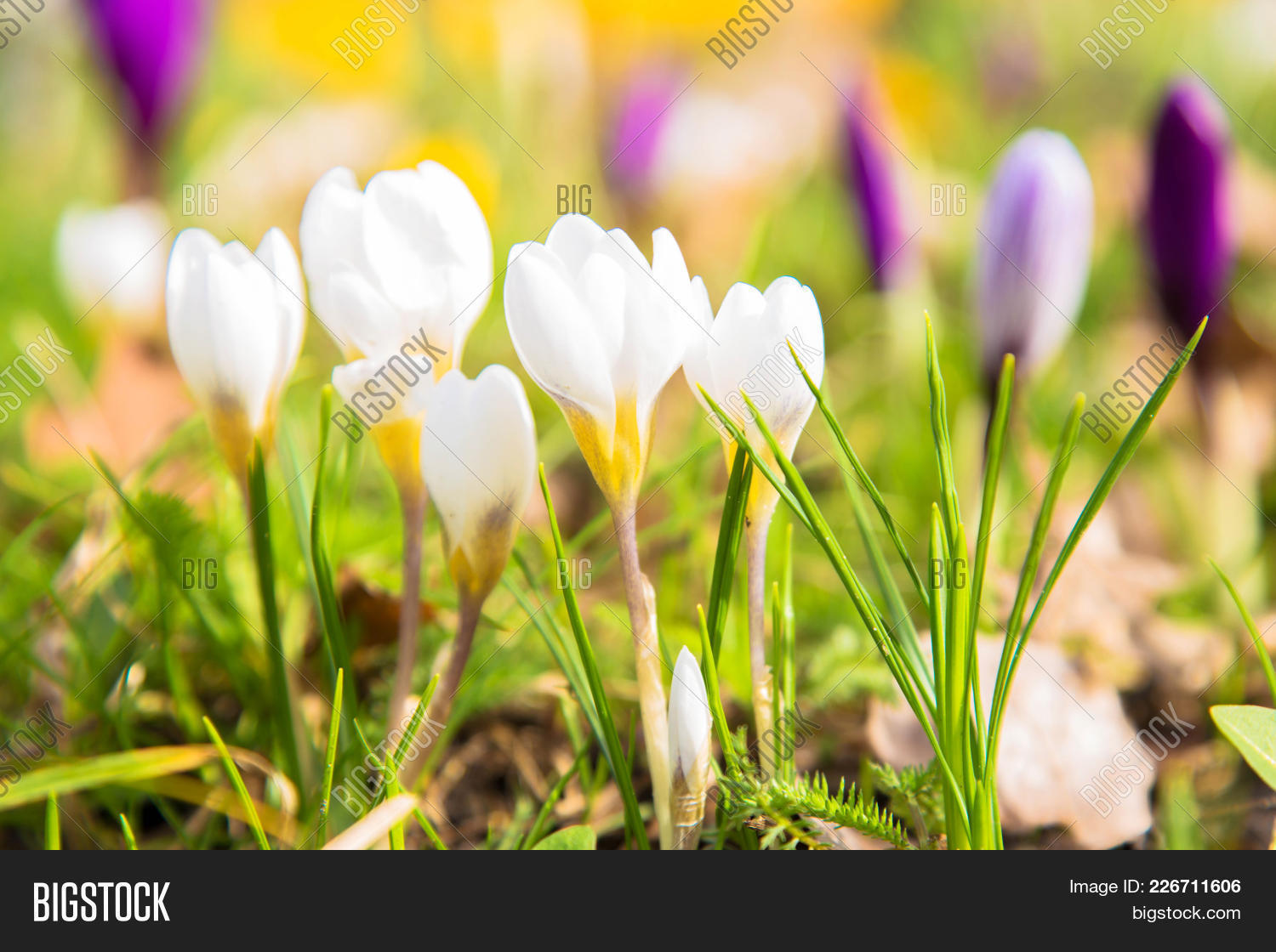 First spring flowers image photo free trial bigstock the first spring flowers crocus white spring fragrant flowers of crocus and green grass mightylinksfo