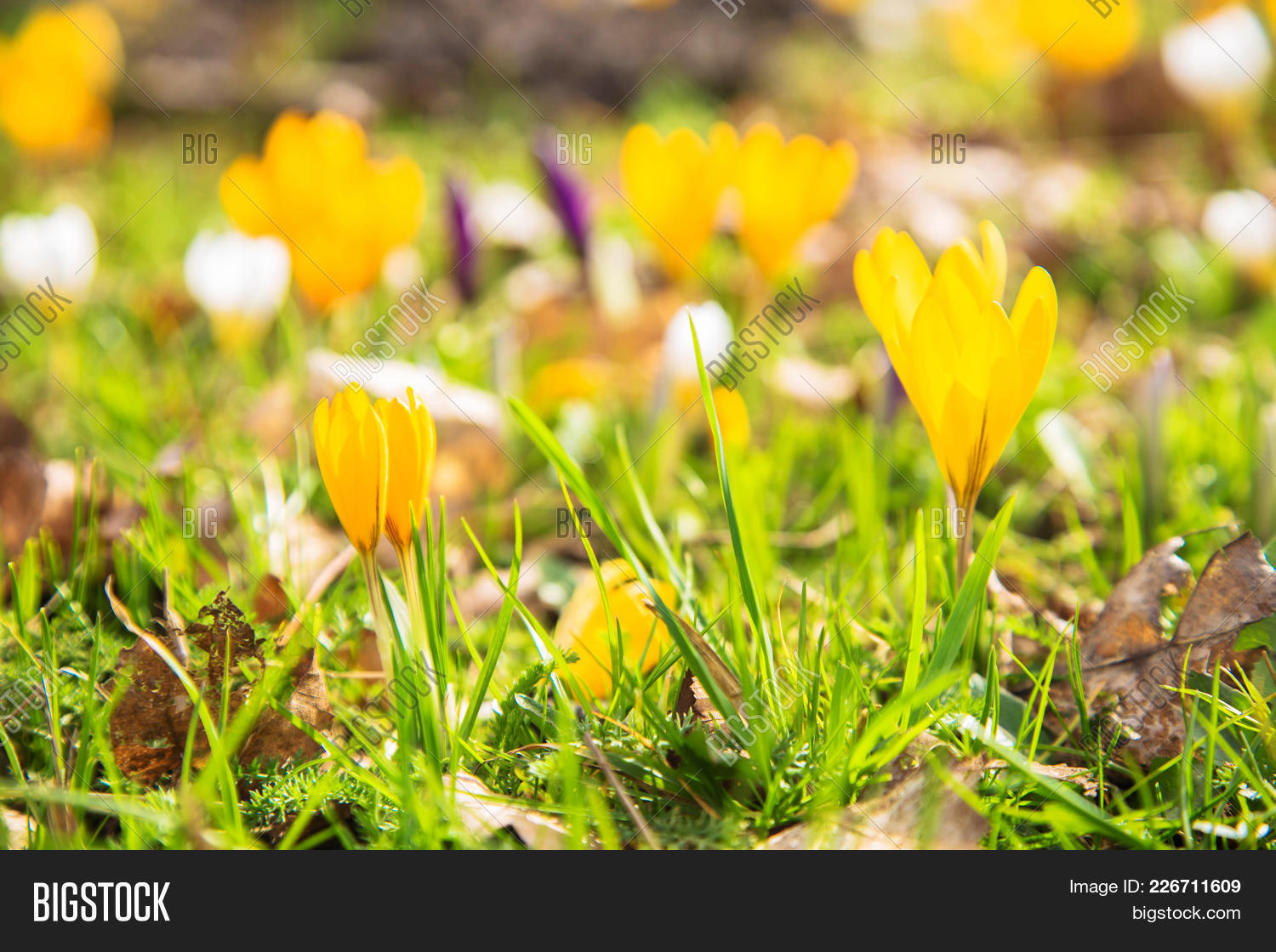 First Spring Flowers Image Photo Free Trial Bigstock