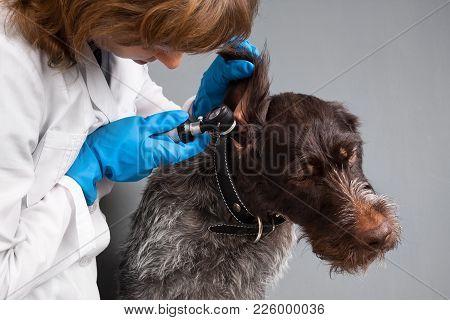 Veterinarian Examining Ear Of Dog With Otoscope In Vet Clinic