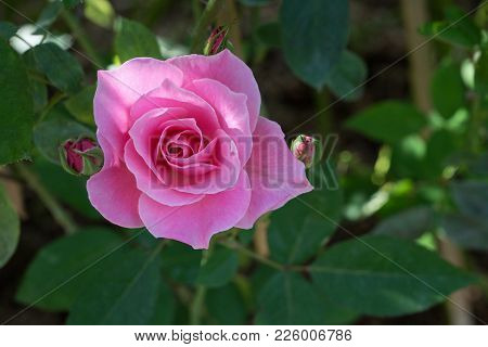 Pink Rose Blooming In Garden, Pink Roses For Love Background