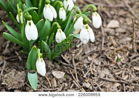 White Snowdrop Flowers (galanthus Nivalis) On Early Spring