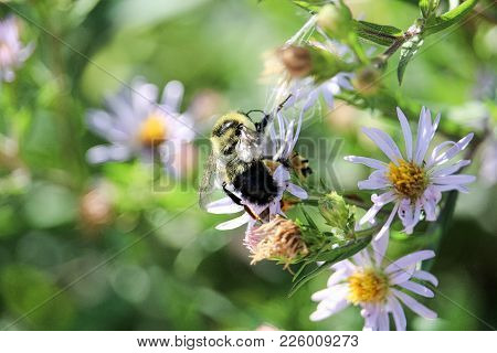 A Bumblebee Gathers Nectar On A Local Flower.