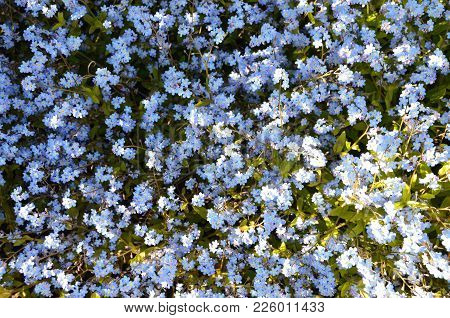 Some Small Blue Forget-me-nots In A Garden