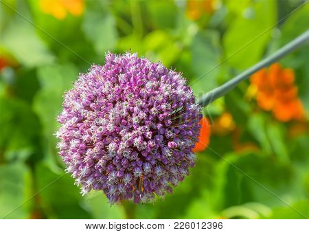 Flowering Giant Onion, Spherical Form, Six Beam Star Shaped Flowers. Floral Background.